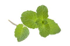 Fresh mint leaves Royalty Free Stock Photo