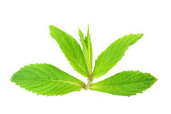 Fresh mint leaves isolated on white background Royalty Free Stock Photos