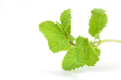 Fresh mint leaves Stock Image