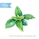 Fresh mint leaves isolated on white watercolor illustration Stock Image