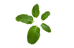 Fresh Mint Leaves. Multi size of mint leaves Stock Images