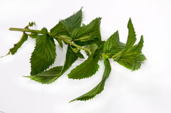 FRESH MINT LEAVES Stock Photo