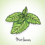 Fresh mint leaves, vector Stock Photos