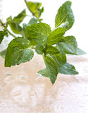 Fresh mint leaves with water drops Royalty Free Stock Photo