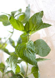 Fresh mint leaves with water drops Royalty Free Stock Image