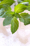 Fresh mint leaves with water drops Royalty Free Stock Photography