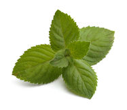 Fresh mint leaves Stock Image