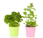 Fresh mint and parsley plant in pink pot Stock Images