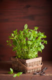 Fresh mint Peppermint herb in a pot Royalty Free Stock Photos