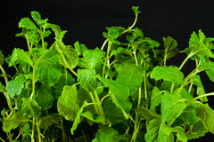 Fresh mint plant Royalty Free Stock Image