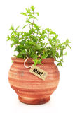 Fresh mint plant. In a clay pot Royalty Free Stock Photo