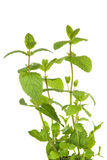 Fresh mint plant in closeup Royalty Free Stock Photo