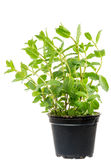 Fresh Mint plant in a flower pot Royalty Free Stock Images