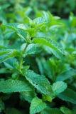 Fresh mint plant Stock Photos