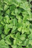 Fresh mint plant Stock Image