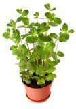 Fresh mint plant in a pot isolated on white stock photos