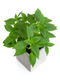 Fresh mint in a pot. Fresh green mint in a pot, isolated on white background Royalty Free Stock Photo