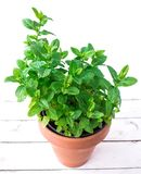 Fresh mint in a pot. Melissa plant growing in a flowerpot  on a white wooden Background. Peppermint, spearmint herb. Gardering concept royalty free stock image