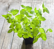 Fresh mint in the pot Royalty Free Stock Photo