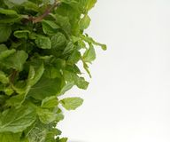 Fresh Mint herbal refreshment plant leaves Royalty Free Stock Photo