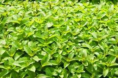 Fresh Mint ~ Spearmint, Peppermint. Fresh Green Mint ~ Spearmint, Peppermint stock photography