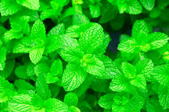 Fresh Mint, Spearmint, Peppermint Stock Photos