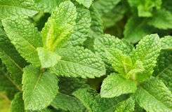 Fresh mint sprigs Royalty Free Stock Photo