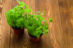 Fresh mint on the table in pots royalty free stock photo