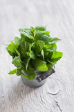 Fresh mint in vintage bucket Royalty Free Stock Image