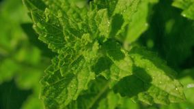 Fresh mint with water splash. Fresh mint falls under water with a splash stock footage