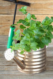 Fresh mint in watering pot Stock Photos