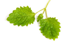 Fresh mint on  white background Royalty Free Stock Photos