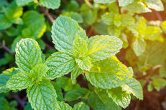 Fresh mints leaves Royalty Free Stock Image