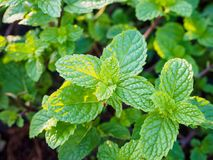 Fresh mints leaves Stock Photography