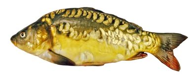 Fresh mirror carp. Is a carp without a scale Royalty Free Stock Photography