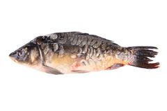 Fresh mirror carp. Royalty Free Stock Photos
