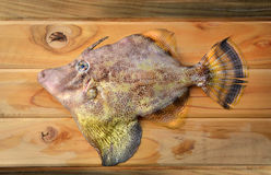 Fresh monacanthidae fish. Seafood fresh monacanthidae fish from market on wooden and photo in sunlight Stock Images