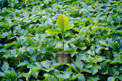 Fresh money plant growing, Money growth business concept Royalty Free Stock Photography