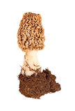 Fresh morel mushroom and soil against white Royalty Free Stock Photography