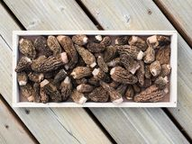 Fresh morel mushrooms on a wooden tray Royalty Free Stock Image