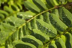 Fresh moringa cassia tree leaves with rain drops royalty free stock photography