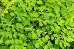 Fresh Moringa royalty free stock photos
