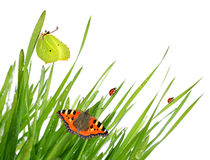 Dew with butterflies and ladybugs. Fresh morning dew with butterflies and ladybugs isolated on white background Royalty Free Stock Photo