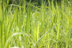 Fresh morning dew in grass. Macro of dew drops on blades of grass in bright morning sunlight Royalty Free Stock Photo