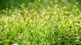 Fresh morning dew in grass. Macro of dew drops on blades of grass in bright morning sunlight Stock Image