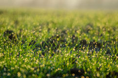 Fresh morning dew in grass Stock Image