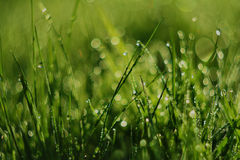 Fresh morning dew in grass Royalty Free Stock Photography
