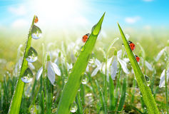 Fresh morning dew on green grass and ladybirds Stock Photo