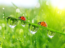 Fresh morning dew on green grass and ladybirds. Stock Photo