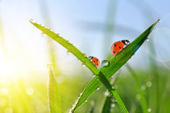 Fresh morning dew on green grass and ladybirds. Royalty Free Stock Image